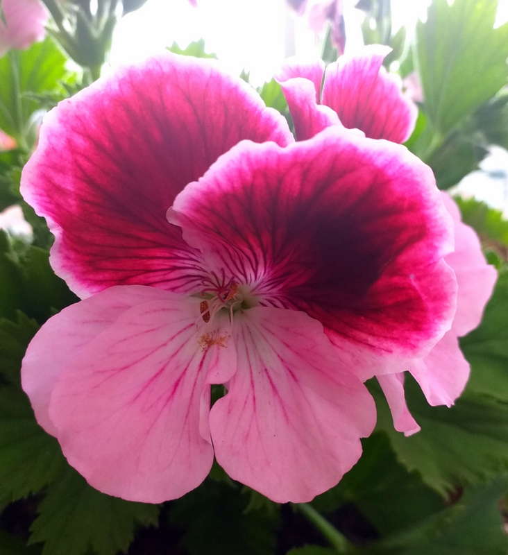 Flor de geranio, una muestra de mis fotos.